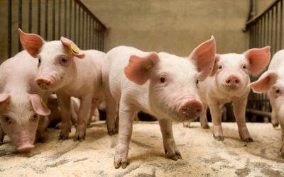 Smaakvol varkensvlees